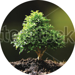 pepit-small-tree